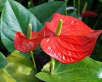 Anthurios - anturium andreanum
