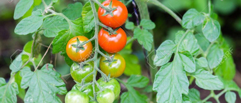 Tomate cherry en rama