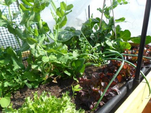 El huerto despues de 10 semanas y varias cosechas