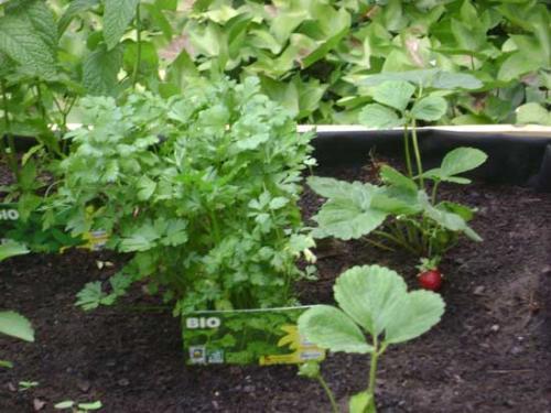Los planteles recién sembrados