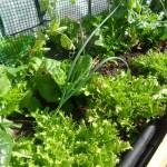 Ensalada ecológica de la terraza