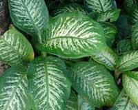 Difembaquia - dieffenbachia maculata