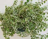 Ficus trepador - ficus repens